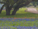 Darrell-gulin-oak-trees_-blue-bonnets_-and-indian-paint-brush_-near-gay-hill_-texas_-usa